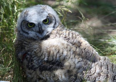 We had a family of Great Horned Owls in our yard all summer.